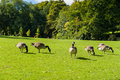 Wild gooses on a meadow in park Royalty Free Stock Photography