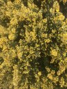 Gorse in andalucia, Spain, yellow flowers, weeds Royalty Free Stock Photo