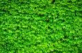 Wild grape leaves background Stock Photo