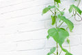 Wild grape plant climbing white wall brick Royalty Free Stock Photos
