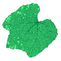 Wild grapes green leaf