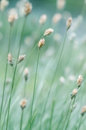 Wild grass mature close up Stock Image