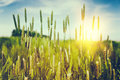 Wild grass at summer sunset golden Royalty Free Stock Image