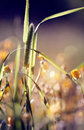 Wild grass timothy grass in the sunlight Royalty Free Stock Photography