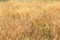 Wild grass at wind background Royalty Free Stock Image