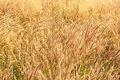 Wild grass at wind background Stock Image
