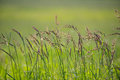 Wild Grasses Blowing in the Breeze Royalty Free Stock Photo