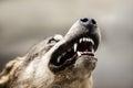 Wild gray wolf animal Royalty Free Stock Photo