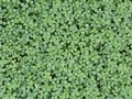 Wild green clover leaves background. Photo texture