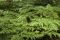 Wild green ferns in the forest thicket Stock Photo