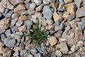 Wild green grass grows through grey color of the crushed granite and limestone coarse gravel foreground closeup Royalty Free Stock Photo
