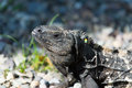Wild green lizard or iguana Royalty Free Stock Photo