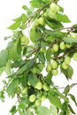 Wild green plums Stock Image