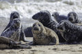 Wild Grey seal colony on the beach at Horsey UK Royalty Free Stock Photo