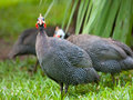 Wild guinea hen on a green grass Stock Image