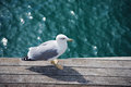Wild gull Stock Photo