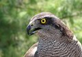 The wild hawk bird eye a closeup with look Stock Photography
