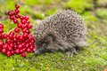 Wild hedgehog is looking for a food in garden Stock Images