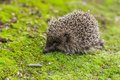 Wild hedgehog is looking for a food in garden Royalty Free Stock Photo