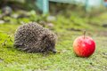 Wild hedgehog is looking for a food in garden Royalty Free Stock Photos