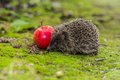 Wild hedgehog is looking for a food in garden Royalty Free Stock Image