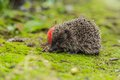 Wild hedgehog is looking for a food in garden Stock Image