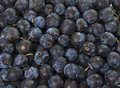 Wild Hedgerow Sloes Royalty Free Stock Image