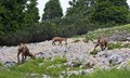 Wild herd of chamois in the wild while graze amid the rocks mountains Royalty Free Stock Photography