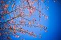 Wild himalayan cheery on blue sky background Stock Photo