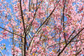 Wild himalayan cherry on blue sky Royalty Free Stock Photos