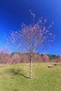 Wild himalayan cherry flower thailand s sakura or prunus cerasoides at phu lom lo mountain loei thailand Royalty Free Stock Images