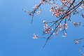 Wild himalayan cherry flower thailand s sakura or prunus cerasoides at phu lom lo mountain loei thailand natural backgrounds Royalty Free Stock Photos