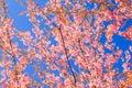 Wild himalayan cherry flower thailand s sakura or prunus cerasoides at phu lom lo mountain loei thailand natural backgrounds Stock Photography