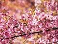 Wild himalayan cherry thai sakura prunus cerasoides Royalty Free Stock Images