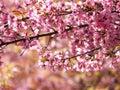 Wild himalayan cherry thai sakura prunus cerasoides Stock Photo