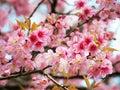 Wild himalayan cherry thai sakura prunus cerasoides Stock Image
