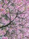 Wild himalayan cherry thai sakura prunus cerasoides Royalty Free Stock Photography