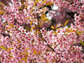 Wild himalayan cherry thai sakura prunus cerasoides Royalty Free Stock Photos