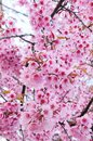 Wild himalayan cherry in thailand Stock Photos