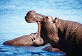 Wild hippo chobe river botswana Royalty Free Stock Images