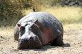 Wild hippo in the masai mara game reserve Stock Photo