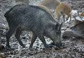 Wild hog female and piglets in the mud Royalty Free Stock Photo