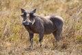 Wild hog in Serengeti Royalty Free Stock Photo