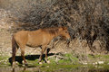 Wild horse along the salt river in arizona Stock Photo