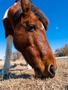 Wild horse eating Royalty Free Stock Photo