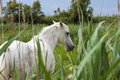 Wild horse in the fields of camargue france Royalty Free Stock Photos