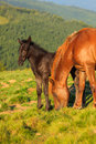 Wild horse and foal on the hill grazing Royalty Free Stock Image