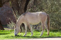 Wild horse grazing a near the salt river in arizona Royalty Free Stock Photos