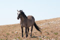 Wild Horse Grulla Gray colored Band Stallion with tail blowing in the wind on Sykes Ridge in the Pryor Mountains in Montana Royalty Free Stock Photo