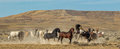 Wild Horse Herd Royalty Free Stock Photo